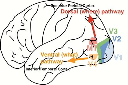 ventraldorsalpathways